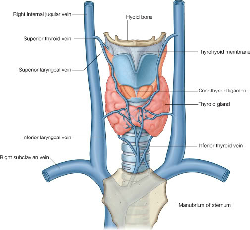 blood supply and venous drainage - enlarged thyroid, Human Body